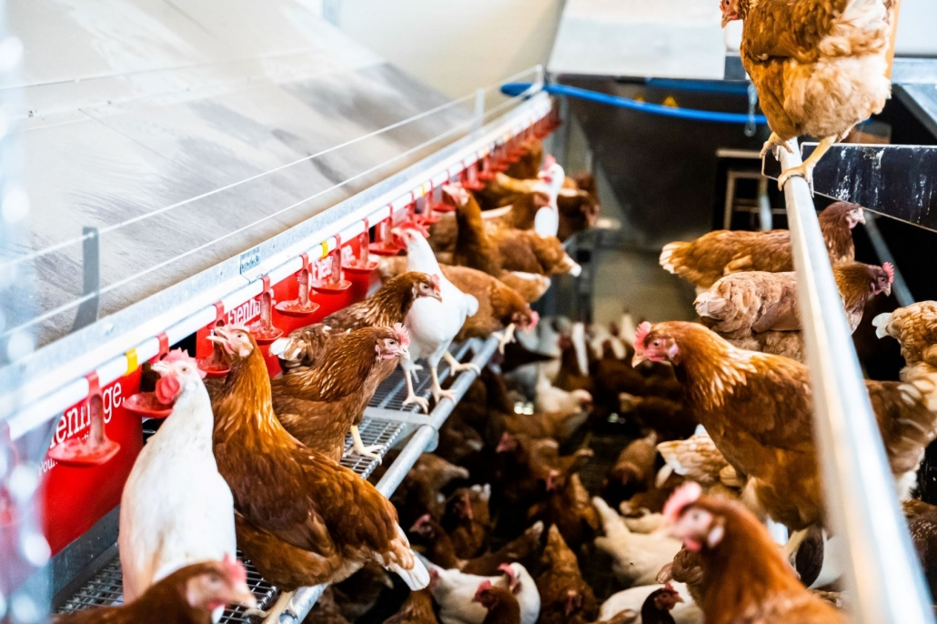 Chicken-Trailer