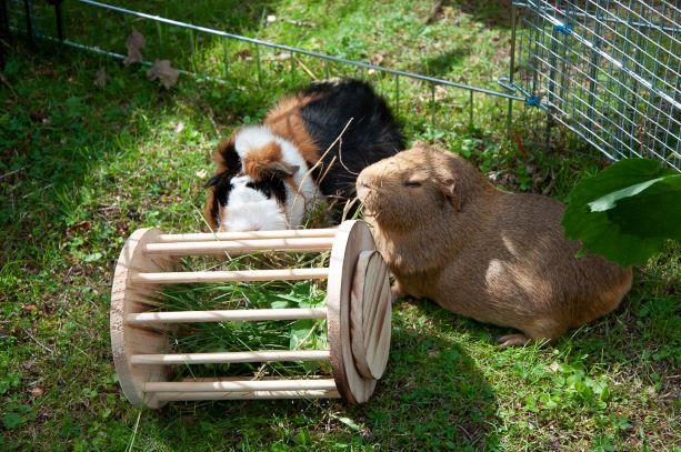 Meerschweinchen mit Trixie Heuraufe Holz rund