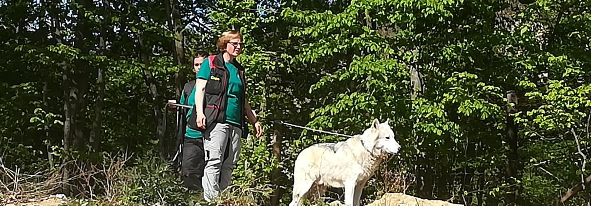 Wolf Amarok im Wolf Science Center
